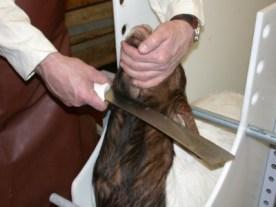 abattage rituel (2)